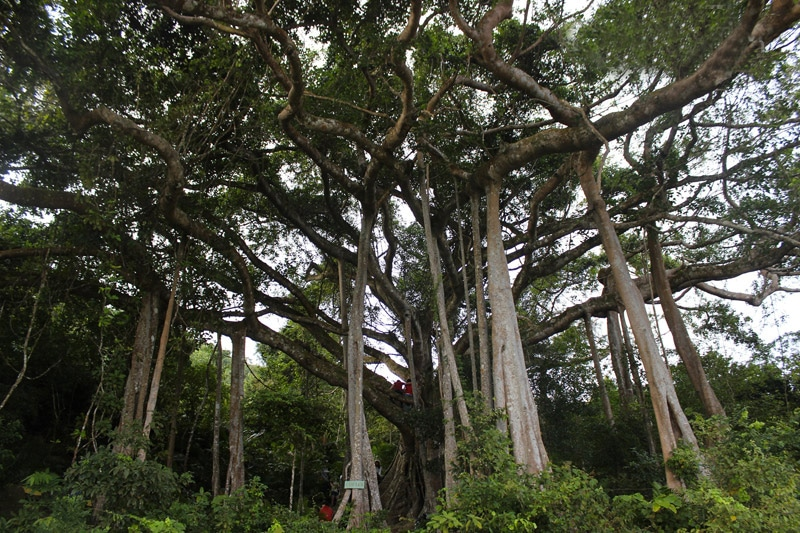arbre-banyan-da-nang